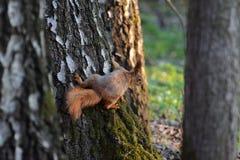 Das rothaarige Eichhörnchen, das auf dem Stamm einer Birke sitzt Stockfotografie