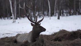 Das Rotwild liegt auf dem huy im Winter stock video