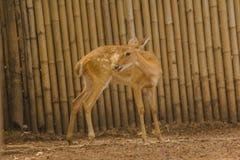 Das Rotwild wird in den Zoo gez?chtet stockbilder