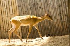 Das Rotwild wird in den Zoo gez?chtet lizenzfreie stockfotos
