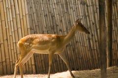Das Rotwild wird in den Zoo gez?chtet lizenzfreies stockbild