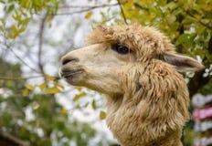 Das süße Augen Alpaka stockfotos