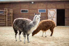 Das südamerikanische Satztier der Familie Kamele mit wertvoller Wolle Lizenzfreie Stockfotos