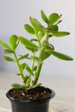 Das saftige Anlagencrassula ovata bekannt als Jade Plant oder Geld-Anlage im schwarzen Topf Lizenzfreie Stockbilder