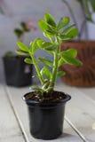 Das saftige Anlagencrassula ovata bekannt als Jade Plant oder Geld-Anlage im schwarzen Topf Stockfoto