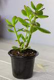 Das saftige Anlagencrassula ovata bekannt als Jade Plant oder Geld-Anlage im schwarzen Topf Lizenzfreie Stockfotos