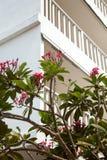 Das schöne Blühen verzweigt sich mit rosa Blumen nahe bei weißem Gebäude Stockbilder