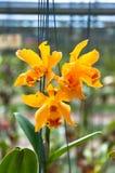 Das schöne der gelben Orchidee Lizenzfreies Stockbild