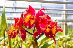 Das schöne der roten Orchidee Stockbild