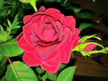Das Scharlachrot Blumen- Lizenzfreie Stockbilder
