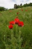 Das Scharlachrot Blumen- Stockfotografie