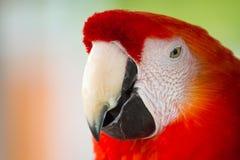 Das Scharlachrot die rote Hauptnahaufnahme des Keilschwanzsittichs stockbild