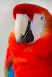 Das Scharlachrot die rote Hauptnahaufnahme des Keilschwanzsittichs lizenzfreies stockfoto