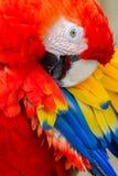 Das Scharlachrot die rote Hauptnahaufnahme des Keilschwanzsittichs stockfotografie