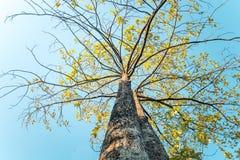 Das Schauen herauf Abschluss herauf Fotografie des gelben Urlaubs des alten Baums im Herbst fallen auseinander schöne Natur im Pa lizenzfreie stockbilder