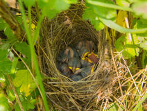 Das Schlafen im Nest die Küken sind unerfahren Lizenzfreies Stockbild