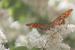Das Schmetterlingstrinken Stockfotos