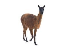 Das schöne Lama Lizenzfreies Stockbild