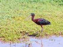 Das schwarze IBIS geht in den Sumpf an einem sonnigen Tag und sucht nach Lebensmittel Lizenzfreie Stockbilder