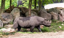 Das schwarze Nashorn oder Haken-lippige Nashorn Diceros bicornis das Gehen Es ist die Spezies des Nashorns, gebürtig zu Ost und stockfoto