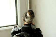Das schwarze neugeborene Huhn ist auf der Kamera, die nahe dem Fenster ist er betrachtet die Kamera foto Stockbild