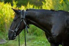 Das schwarze Pferd Stockfotografie