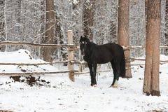 Das Schwarze pferdeartig im Winter lizenzfreie stockfotos