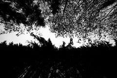 Das Schwarzweiss-Bild eines orientalischen Teppichs des Himmels zwischen einer Wand Koniferen und dem laubwechselnden Koniferen Stockbild