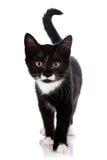 Das Schwarzweiss-Kätzchen geht auf einen weißen Hintergrund. stockfotos