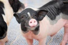 Das Schwein Stockfotografie