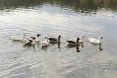 Das Schwimmen in Gänse eines Teichs Lizenzfreie Stockbilder