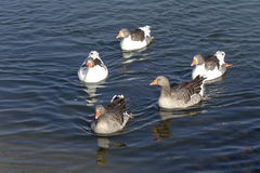 Das Schwimmen in Gänse eines Teichs Lizenzfreie Stockfotografie