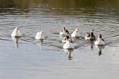 Das Schwimmen in Gänse eines Teichs Lizenzfreies Stockfoto