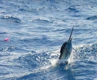 Das Segelfisch-Springen Lizenzfreie Stockfotografie