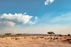 Das Serengeti - gestalten Sie mit blauem Himmel und weiße Wolken, getrocknetes Gras, Akazienbäume und hundrets von Gnus landschaf Stockfotos