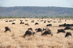 Das Serengeti mit hundrets des Weiden lassens von Gnus Stockfoto