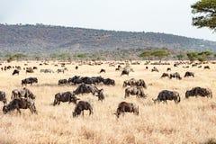 Das Serengeti mit hundrets des Weiden lassens von Gnus Stockbilder