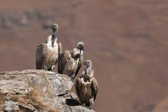 Das Sitzen drei Umhang-Geiers auf einer Felsenleiste auf verschiedenen Höhen Lizenzfreies Stockfoto