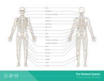 Das skelettartige System lizenzfreie abbildung