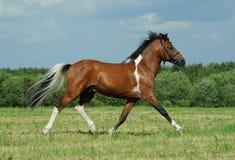 Das skewbald Pony Stockbild