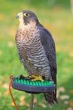 Das sparrowhawk - Accipiter nisus Stockfotografie