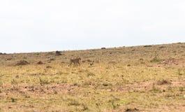 Das Spiel der Katze und der Maus mit der Beute Eine Katze ist immer eine Katze Masai Mara, Kenia lizenzfreies stockfoto