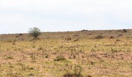 Das Spiel der Katze und der Maus mit der Beute Tödliches Spiel Masai Mara, Kenia stockbilder