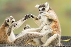 Das Spielen des Lemur (Lemuriformes) Lizenzfreies Stockfoto