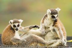 Das Spielen des Lemur (Lemuriformes) Lizenzfreie Stockfotos