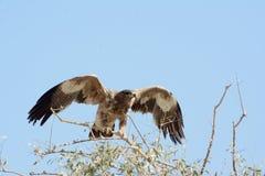 Das Steppenadler Aquila-nipalensis Lizenzfreie Stockfotografie
