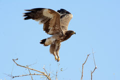 Das Steppenadler Aquila-nipalensis Stockbilder