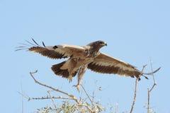 Das Steppenadler Aquila-nipalensis Stockfotos