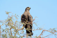 Das Steppenadler Aquila-nipalensis Lizenzfreie Stockfotos