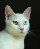 Das Türkische Van Cat Stockfotografie
